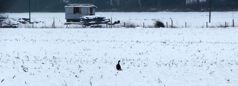 Photo of pheasant in snow, Shropshire 2007