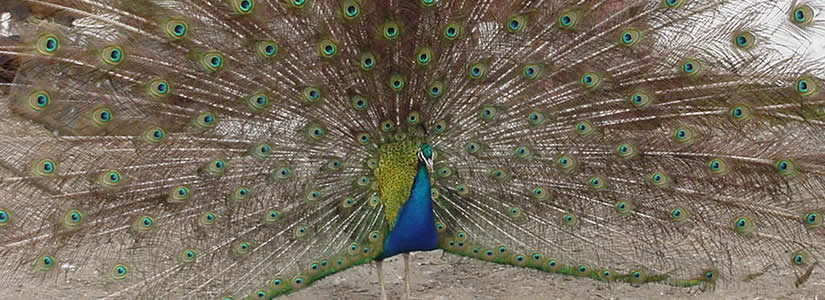 Photo of peacock, Rede Hall Farm 2000