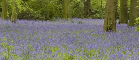 Photo of bluebells © Peter Truman www.picsandlight.com