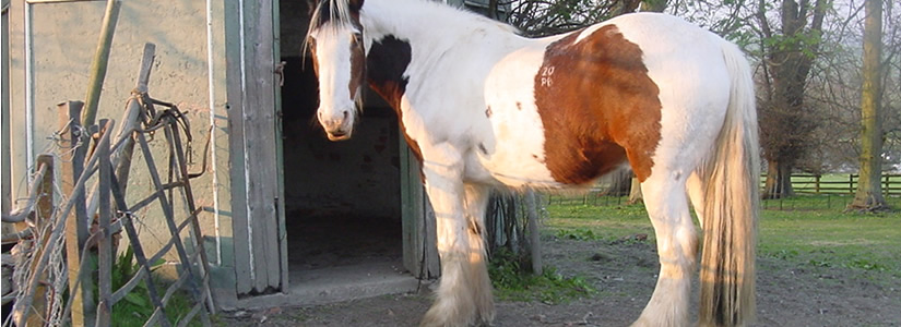 Photo of Charlie the Horse, Shropshire 2003