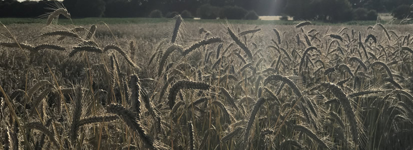 Photo of wheat in a field